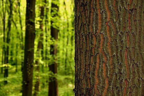 натуральное дерево
